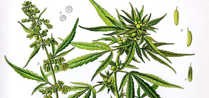 Diferencia entre cáñamo y marihuana